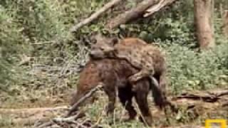 Amorous Hyenas Pete's Pond 11/23/07 - 1