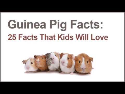 25 Guinea Pig Facts | PetsStore.net