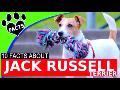 The Jack Russell Terrier Personality: Small Dog, Big Attitude ...