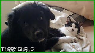 Puppy Plays With Kitten | Golden Retriever - Border Collie Mix