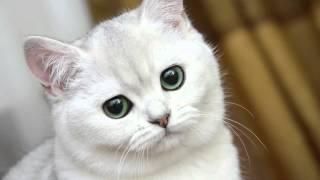 Белые коты от РУССКАЯ ПРИРОДА