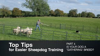 Top Tips for Sheepdog Training (Part 4)  Is Your Dog a Gathering Breed?