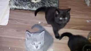Наши британские котята играют