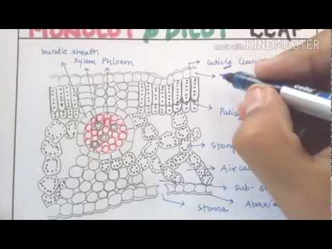 Anatomy Of Monocot And Dicot Leaf In Detail For Neet Aiims Jipmer