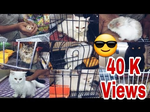 Persian Cats and Hamsters | Hiba Pet shop | khushal Nagar | Bangalore