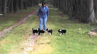 Border Collie Puppies 6 weeks old 'stop and go'