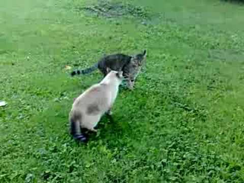 Combat De Chats  Baston Chat  Fight Cat