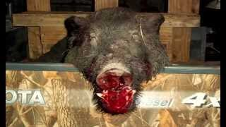 400 Pound Hog hunting in Texas