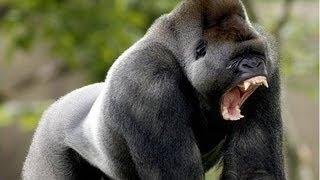 GORILA ATACA A PERSONAS DE UN ZOOLÓGICO. No se puede mirar fijamente a un gorila. El gorila Bokiko