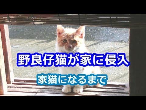 野良仔猫が家に侵入。家猫になるまでの1年 A stray cat invades! And until it becomes a house cat