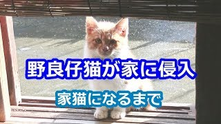 野良仔猫が家に侵入。家猫になるまでの1年