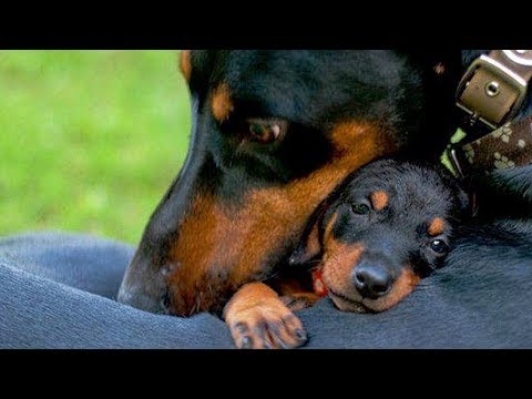 Mother Dogs and Cats Protecting Their Babies Compilation 2018