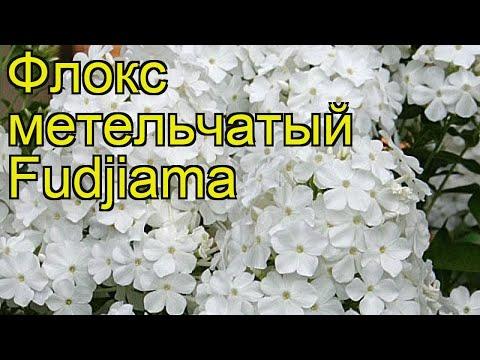 Флокс метельчатый Фудзияма. Краткий обзор, описание характеристик Phlox Paniculata Fudjiama