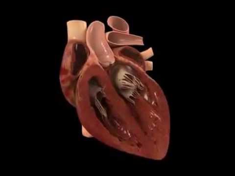El Corazón Humano - YouTube