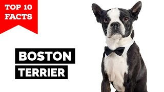 Boston Terrier  Top 10 Facts