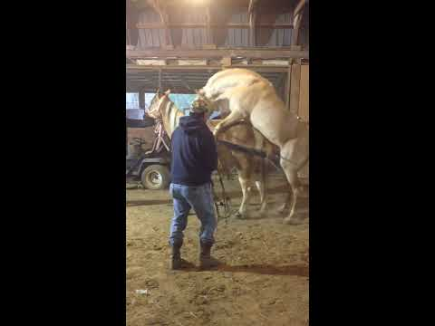 Mating Ongole bull, powerful, doing 8 times in 15 minutes.avi from YouTube · Duration:  3 minutes 31 seconds