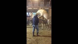 Palomino horse breeding