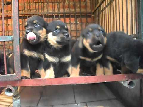 Rottweiler | Rottweiler con | Cho rottweiler | Rốt | Rott | Rot...