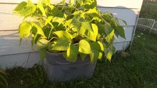 Bush Beans In Self Watering Container-the Wisconsin Vegetable Gardener Straight To The Point