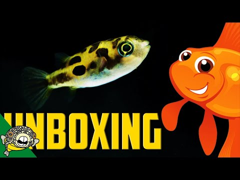 Unboxing Fish MORE FRESHWATER PUFFERS than you can shake a stick at!