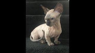 SPHYNX BAMBINO CAT