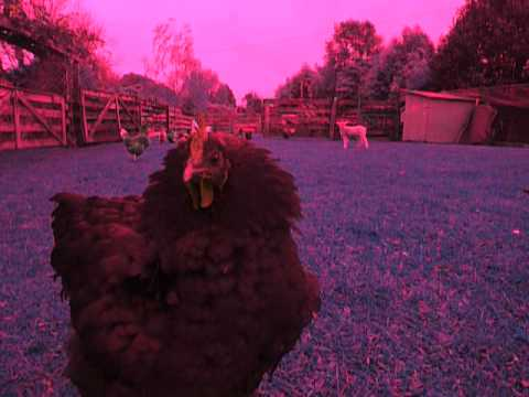 Chicken Beauty // Animal Collective
