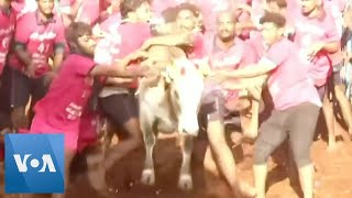 Traditional Bull-Taming Festival Begins in Southern India