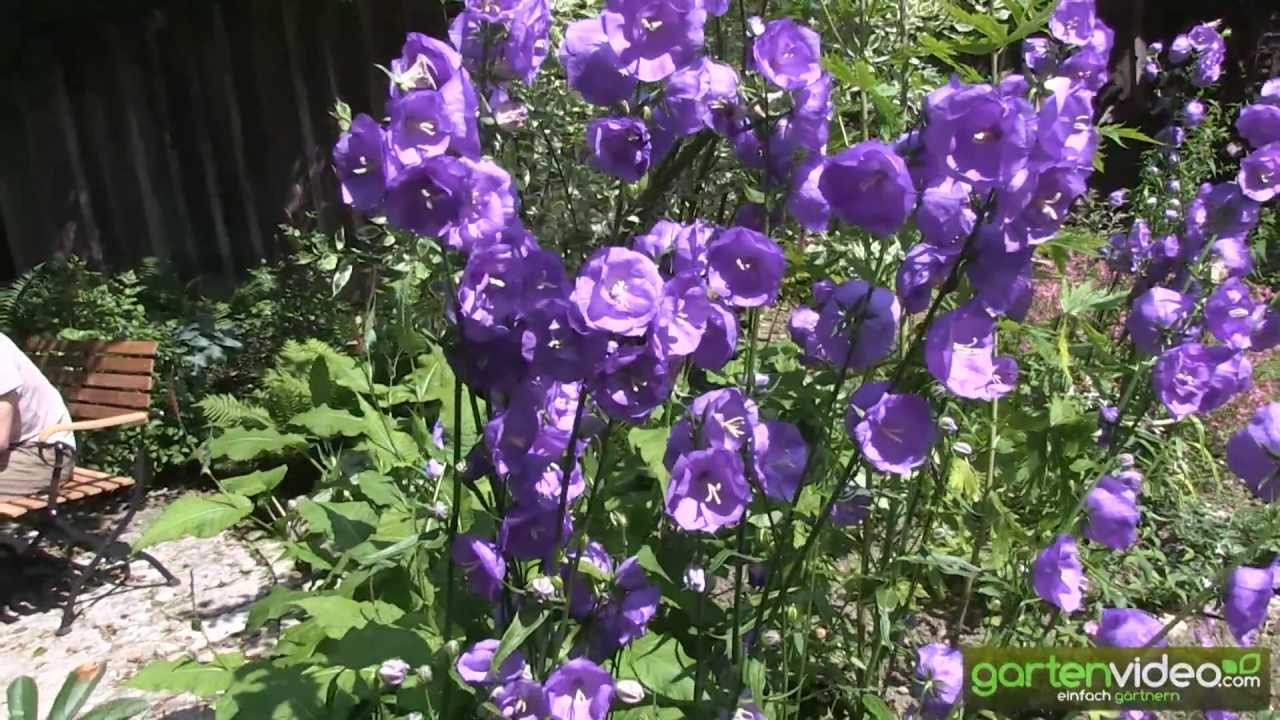 glockenblume campanula persicifolia 39 blue bloomers 39 youtube. Black Bedroom Furniture Sets. Home Design Ideas