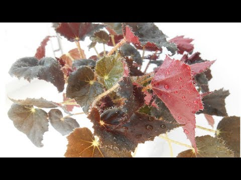 БЕГОНИЯ декоративно-лиственная УХОД