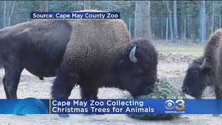 Cape May Zoo Collecting Christmas Trees For Animals