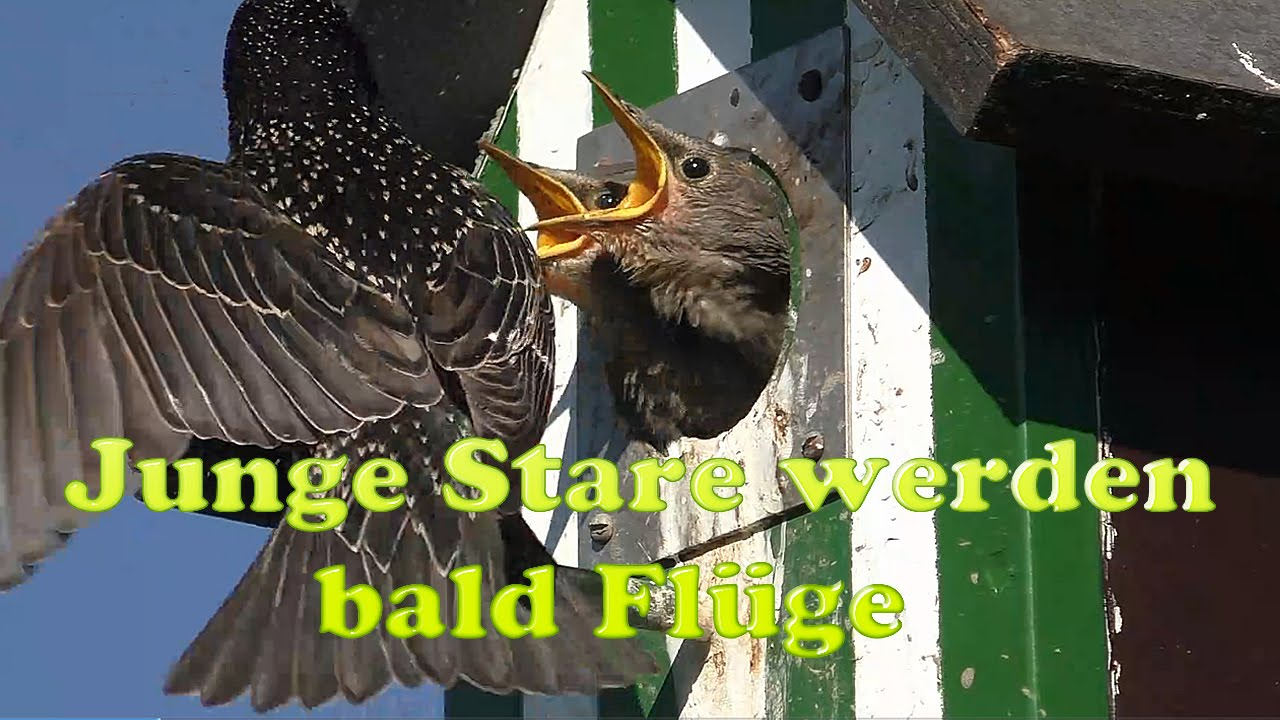 v gel und natur junge stare sturnus vulgaris werden bald fl gge youtube. Black Bedroom Furniture Sets. Home Design Ideas