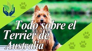 Terrier Australiano: descubre esta fantástica raza