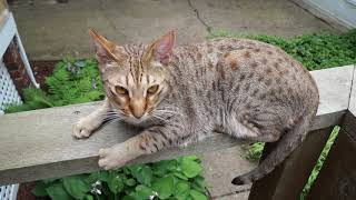 Ocicat Benny At Two Years And Two Months