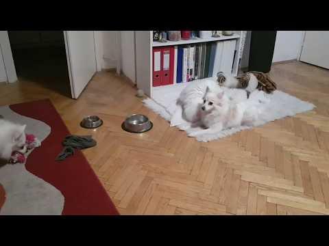 HAPPY DOGS GERMAN SPITZ SANI & LANA