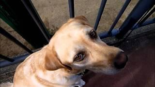 Gun Dog Retrieve Field Trial-counter Conditioning To Gun Fire Sound-発砲音に慣れよう