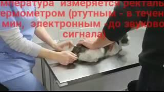 Замеряем температуру кошке