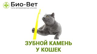 Зубной камень у кошек. Ветеринарная клиника Био-вет.