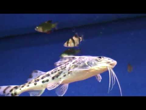 Pictus Catfish And Albino Tiger Barb