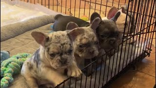 Frenchie puppies 7 weeks old