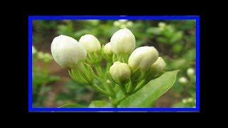 原來茉莉花要這麼養才又白又香花期長,難怪我養的總不開花!