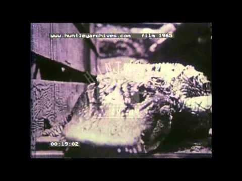 Dogs patrolling enclosure full of alligators, 1930's -- Film 1965
