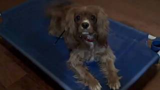 Whitney Cavalier King Charles Spaniel | Redeeming Dogs | Dallas Dog Training