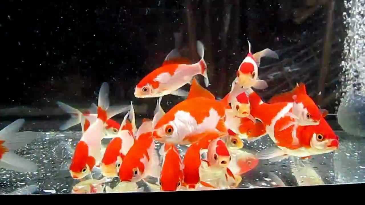 Pesci sarasa sarasa fishes youtube for Alimentazione pesci rossi laghetto