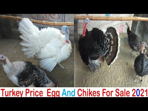 Turkey Bird Egg and Chicks For Sale (2021)  |Turkey Bird Farming Business  Idea in Urdu\Hindi