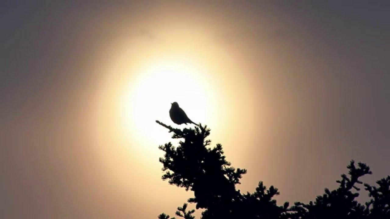 Peaceful music - Birds singing in the morning