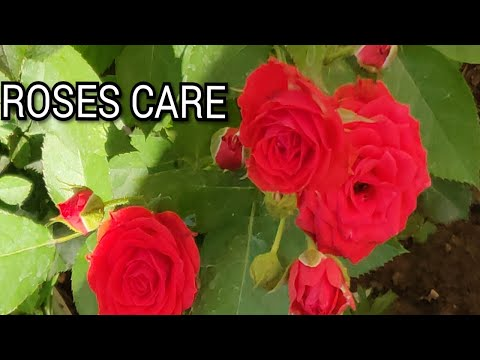 care-of-english-roses-in-summer