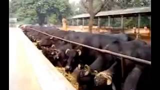 murrah buffalo dairy farm NDRI