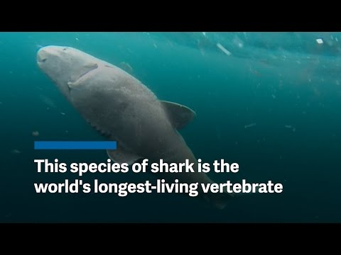 This shark is world