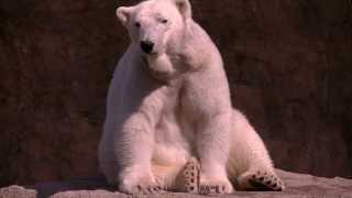 Denver Zoo Polar Bear Sitting Up