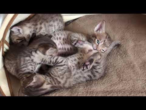 Meulicats Ocicats kittens Vichy 2018 10 21